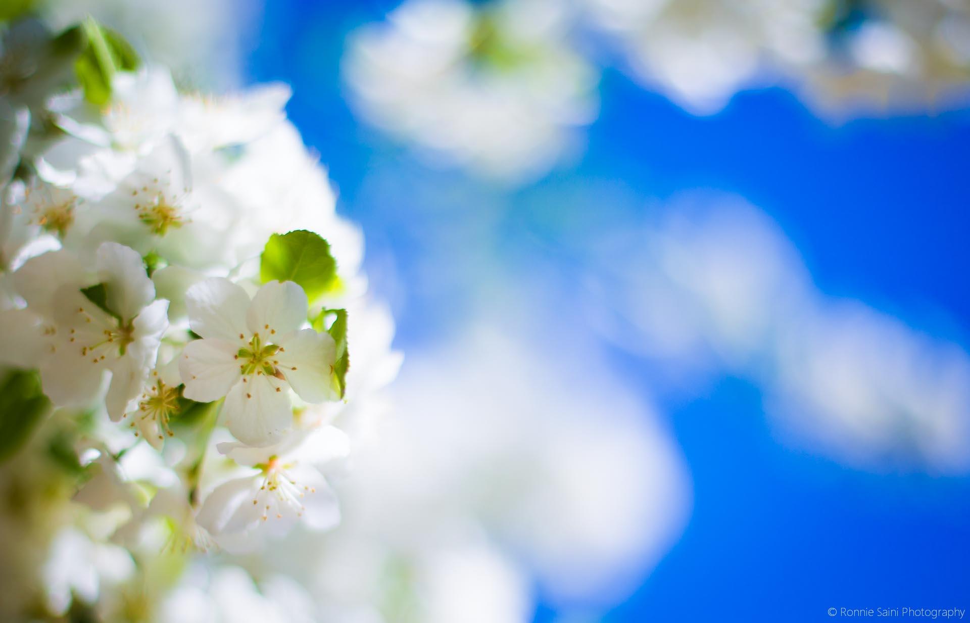 cherry-blossom-washington-boston-1