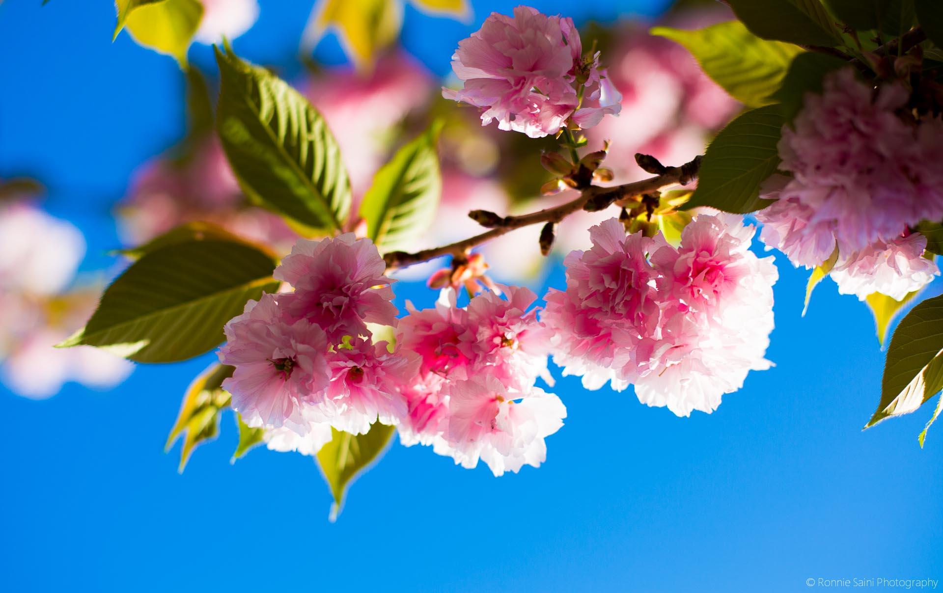 cherry-blossom-washington-boston-10