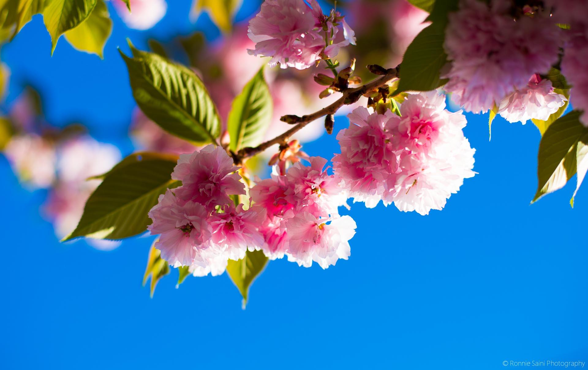 cherry-blossom-washington-boston-11