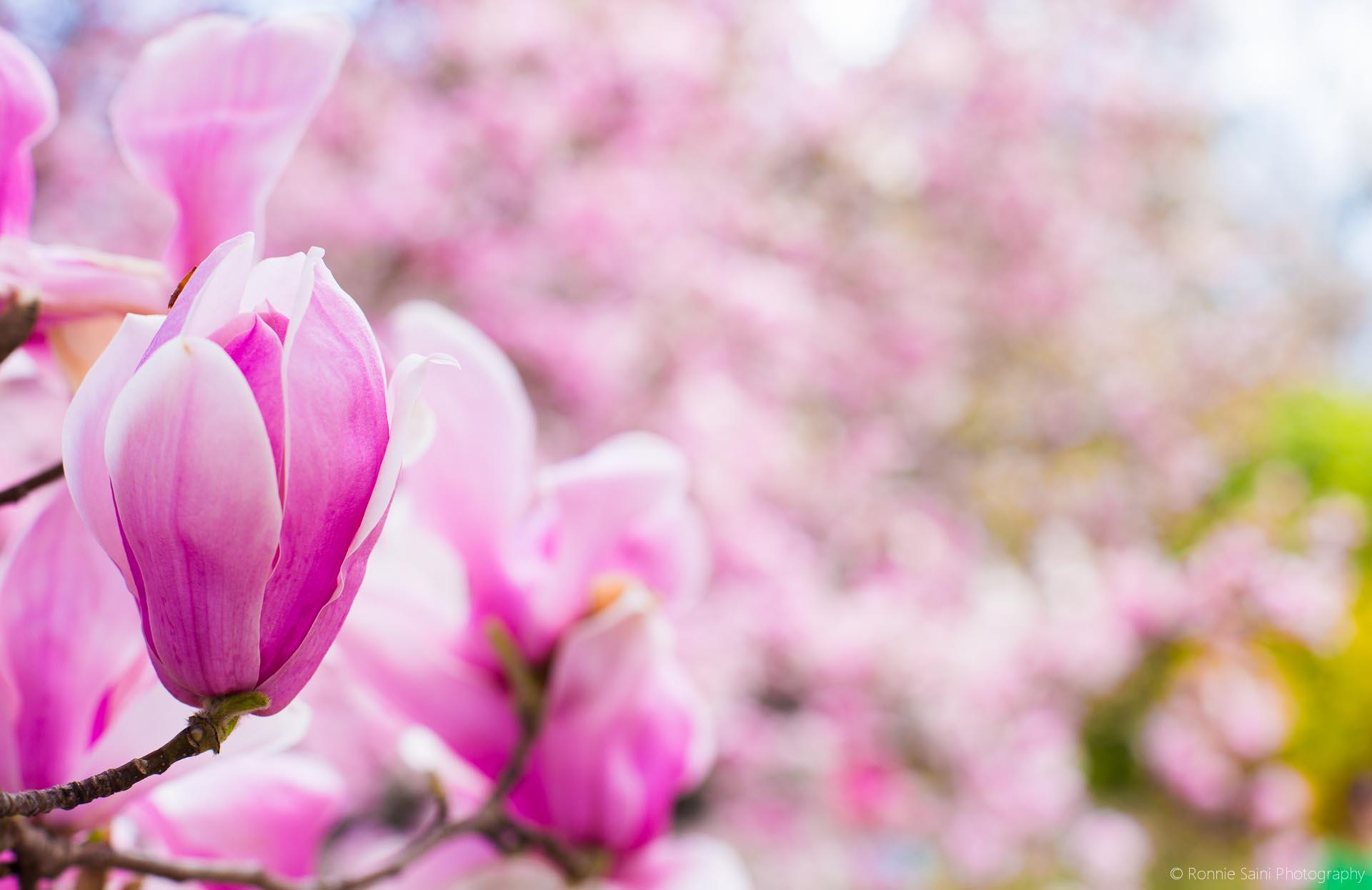cherry-blossom-washington-boston-12