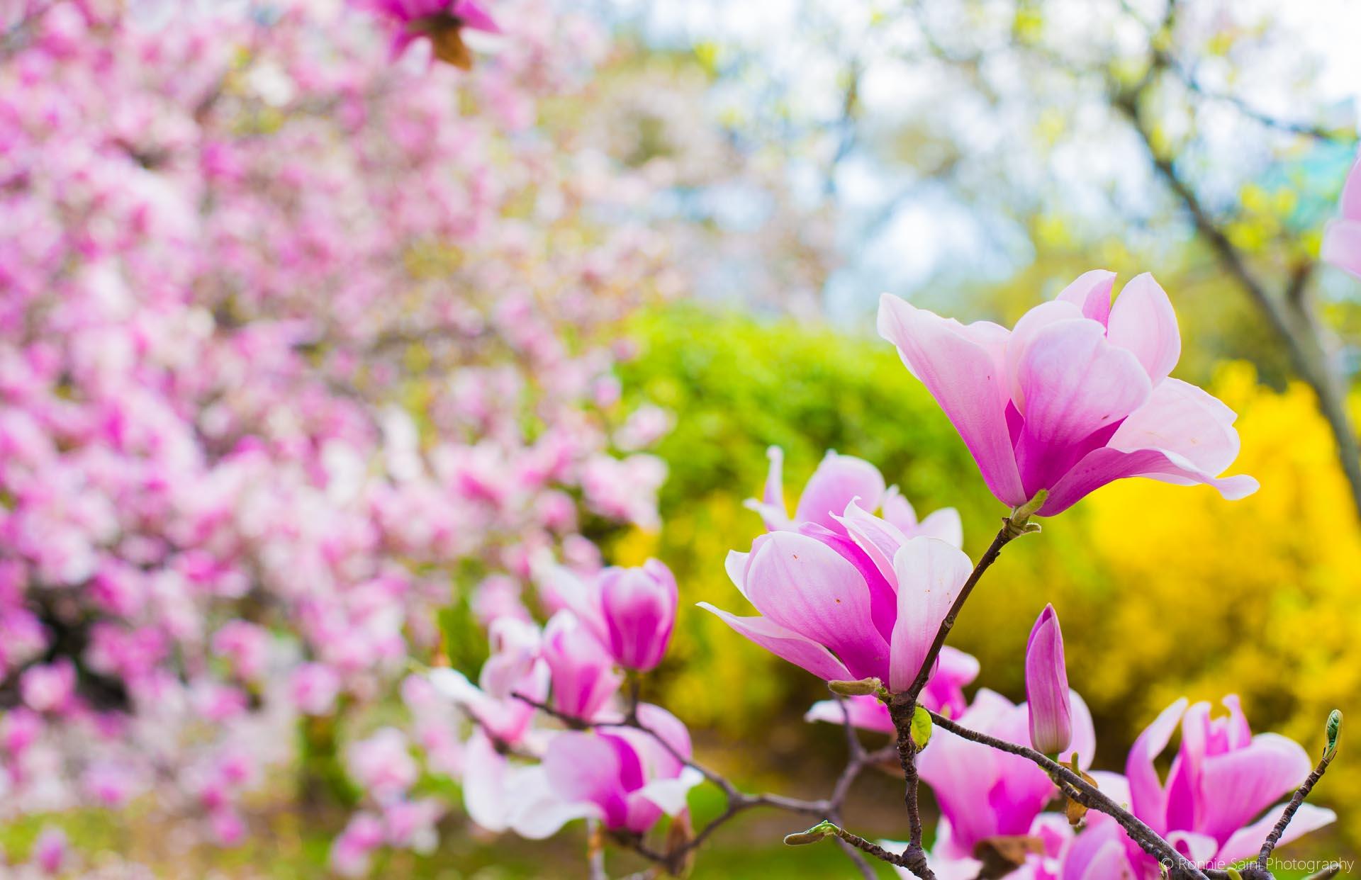 cherry-blossom-washington-boston-13