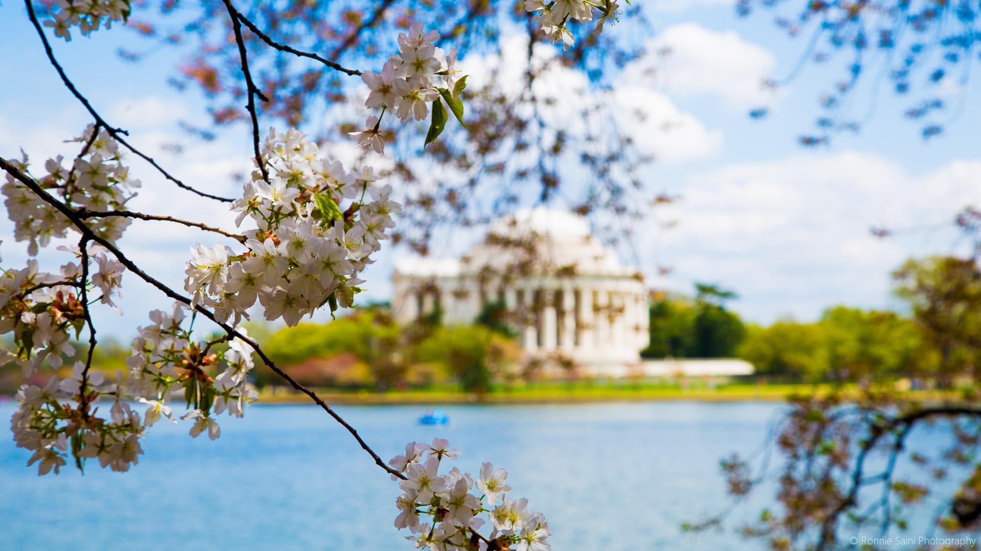 cherry-blossom-washington-boston-16