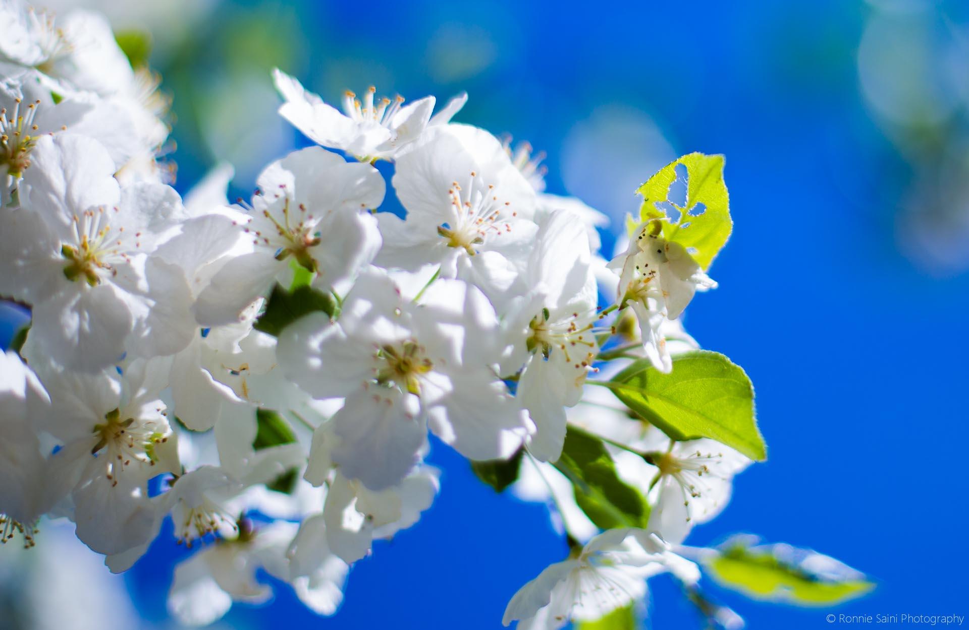 cherry-blossom-washington-boston-2