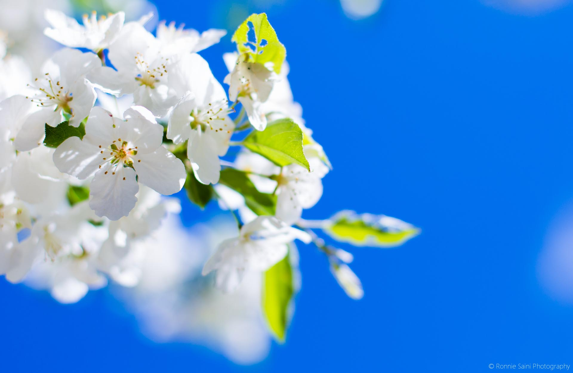 cherry-blossom-washington-boston-3