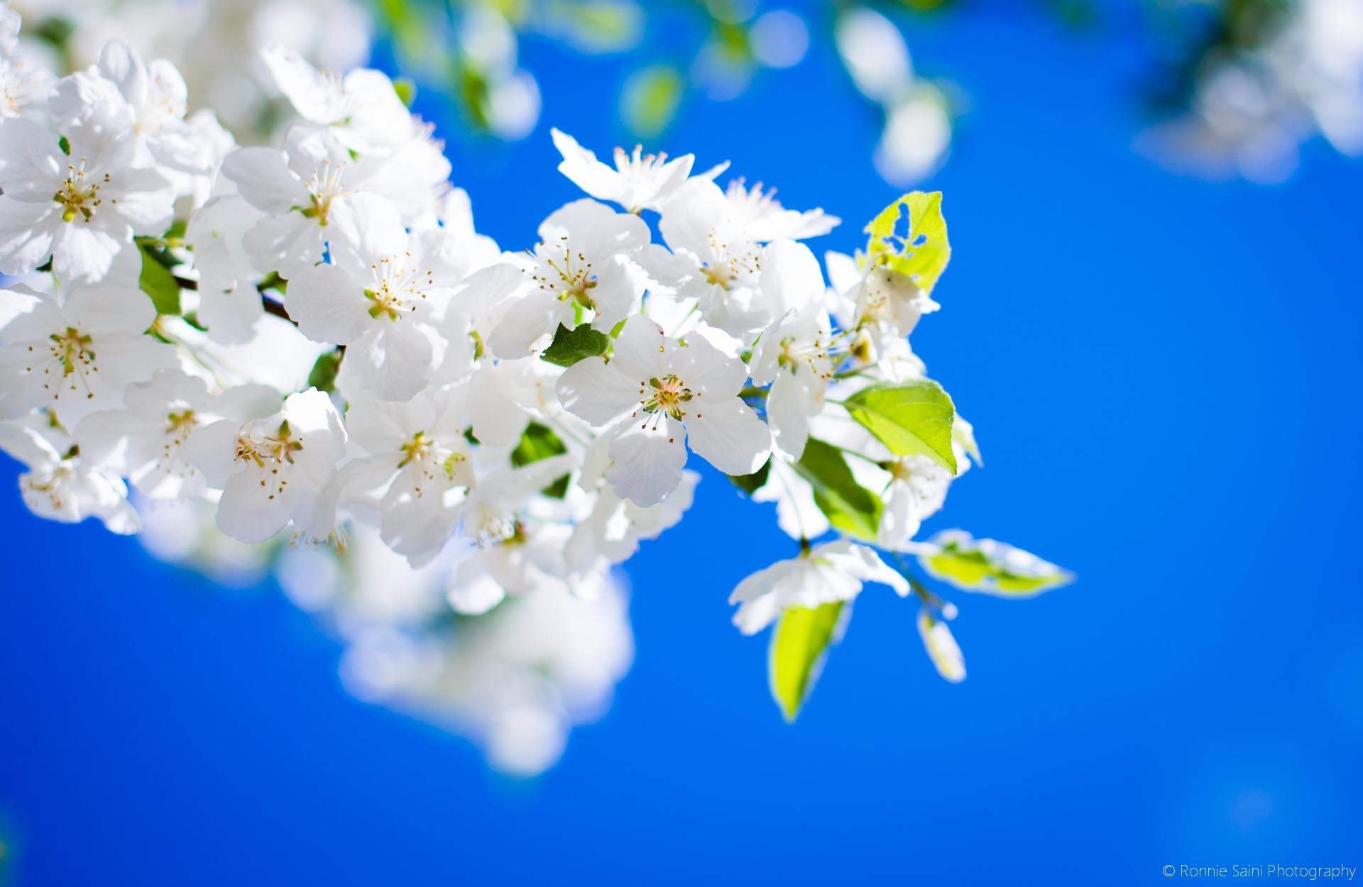 cherry-blossom-washington-boston-4