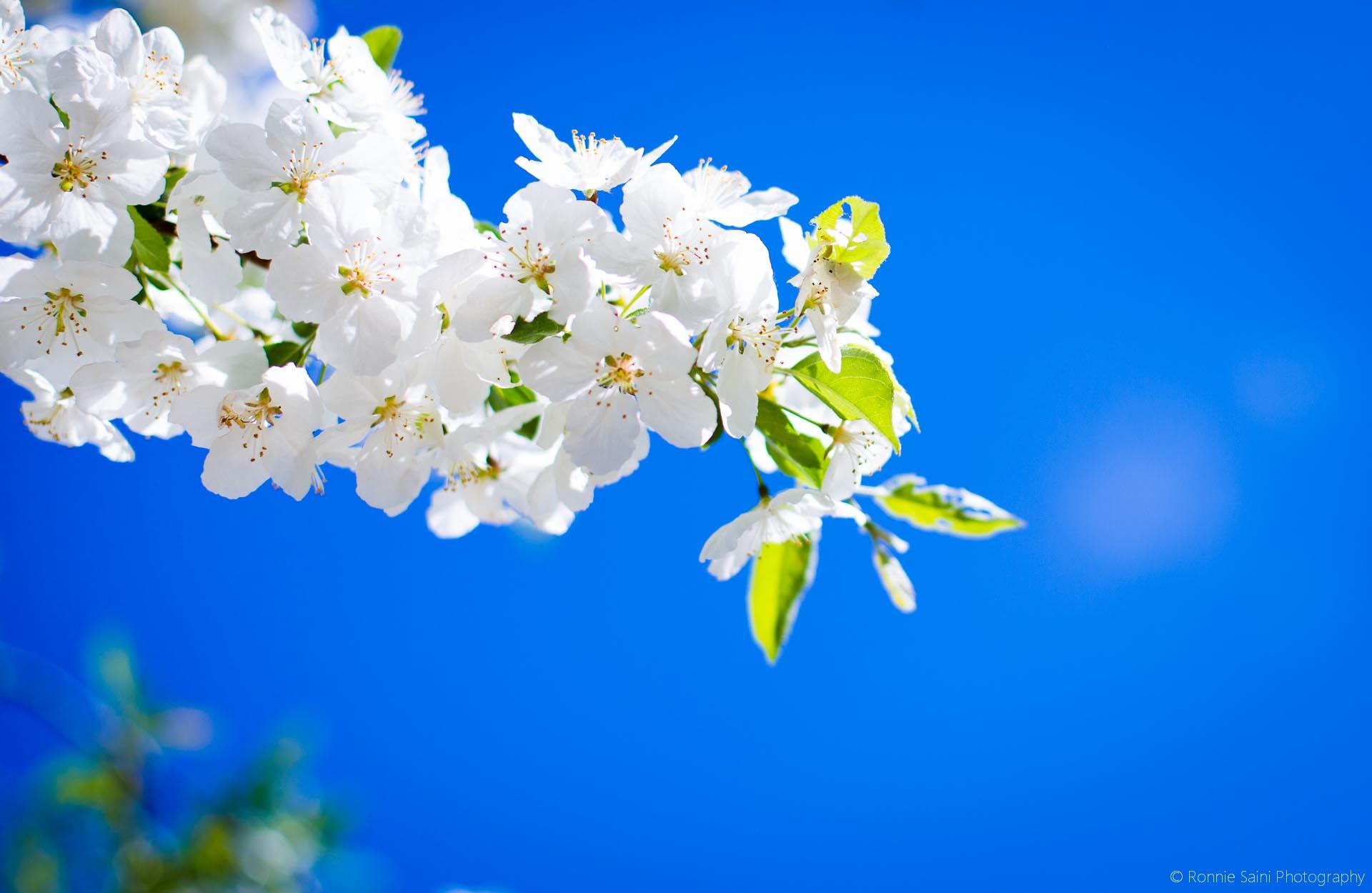 cherry-blossom-washington-boston-5