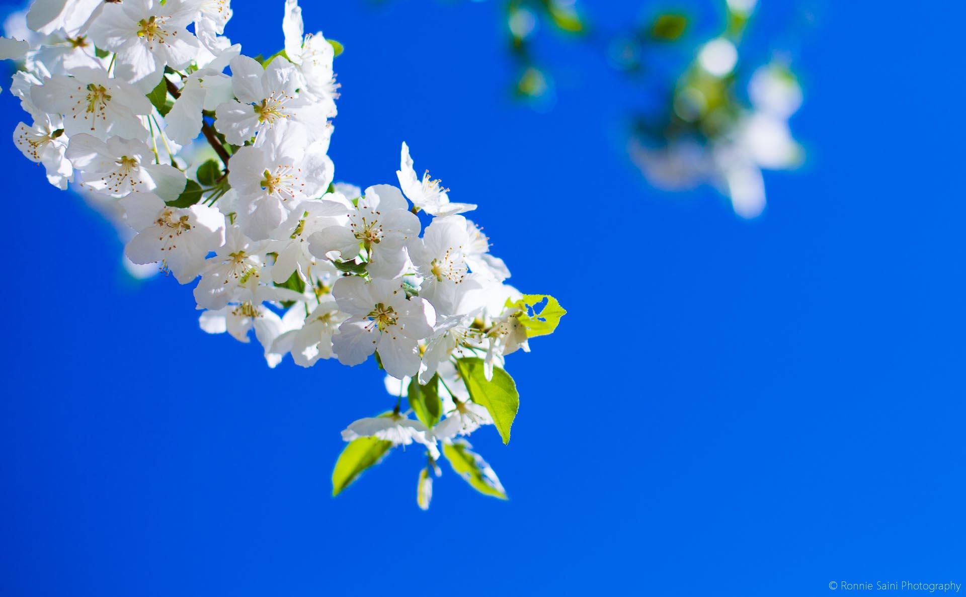 cherry-blossom-washington-boston-6