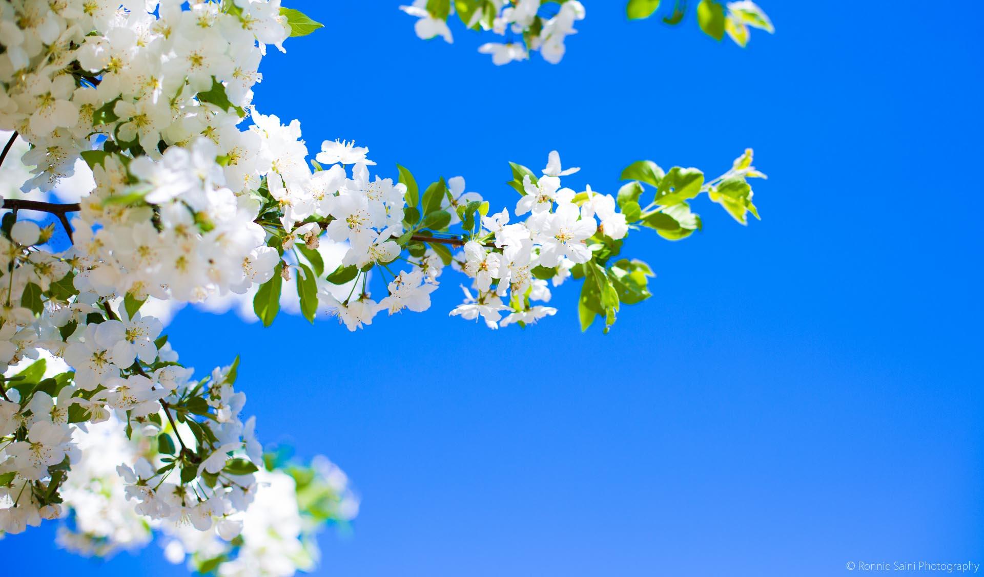 cherry-blossom-washington-boston-7