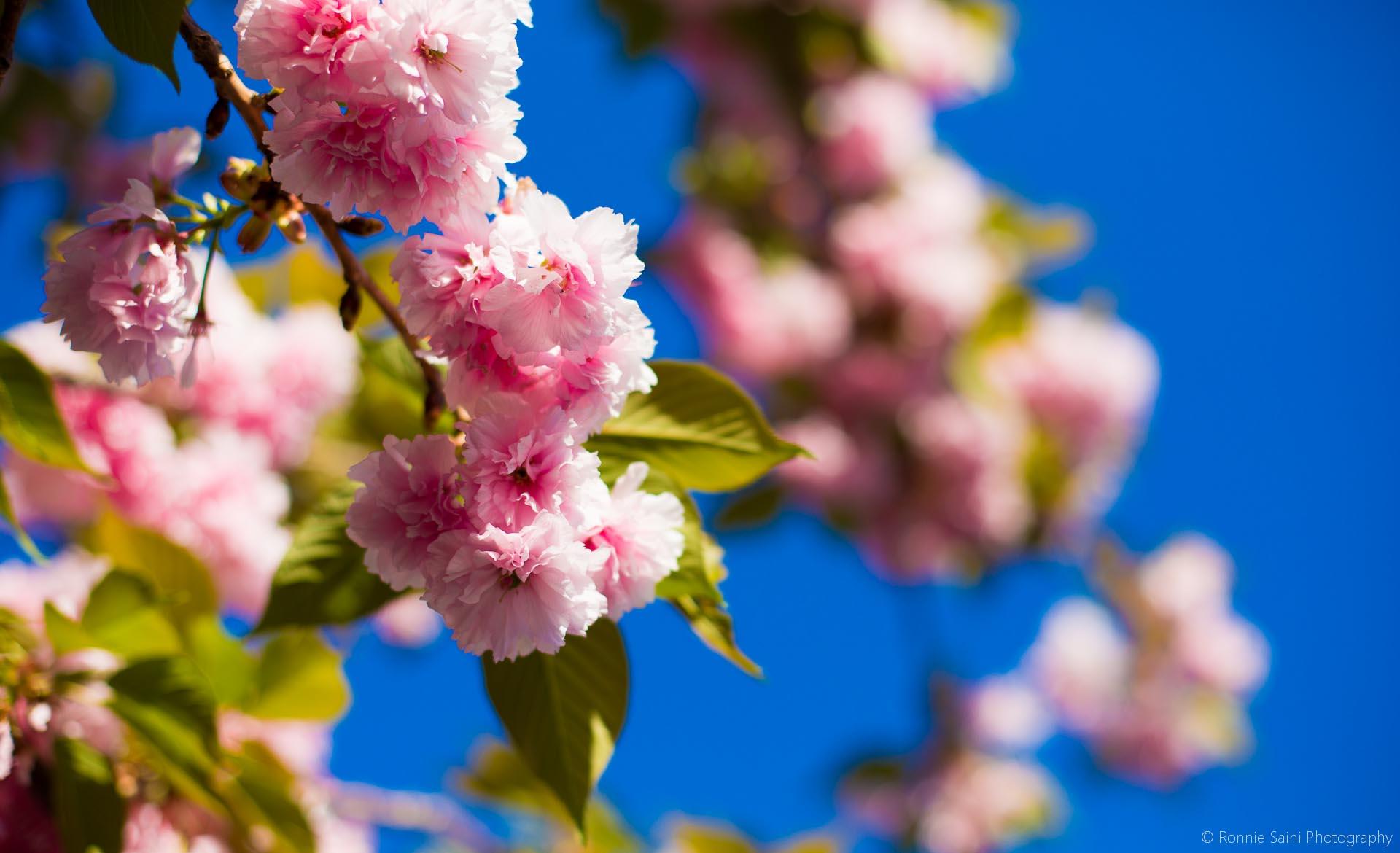 cherry-blossom-washington-boston-8