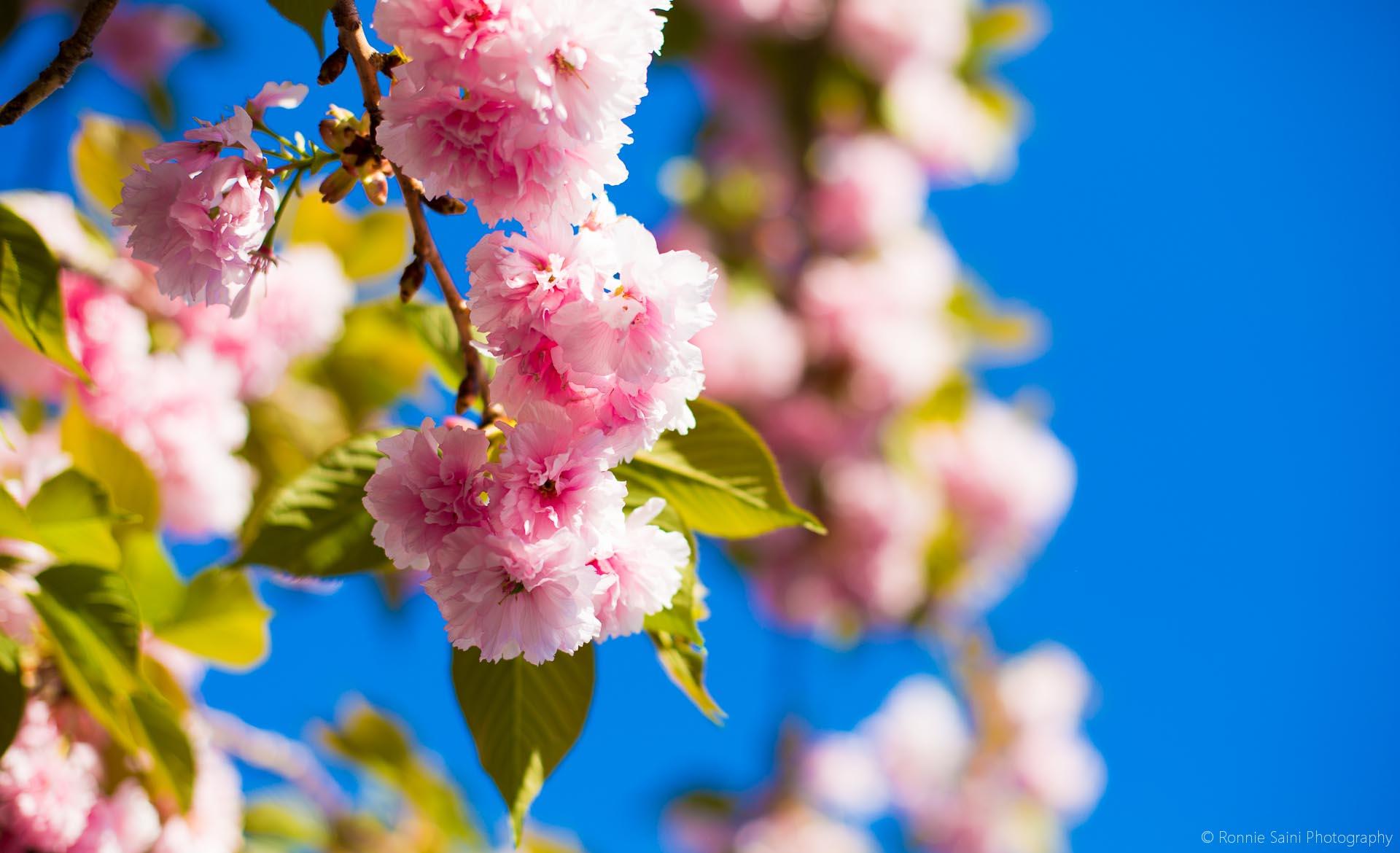 cherry-blossom-washington-boston-9